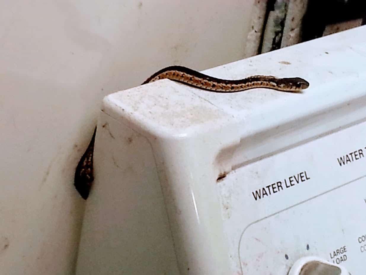 A snake on my washing machine