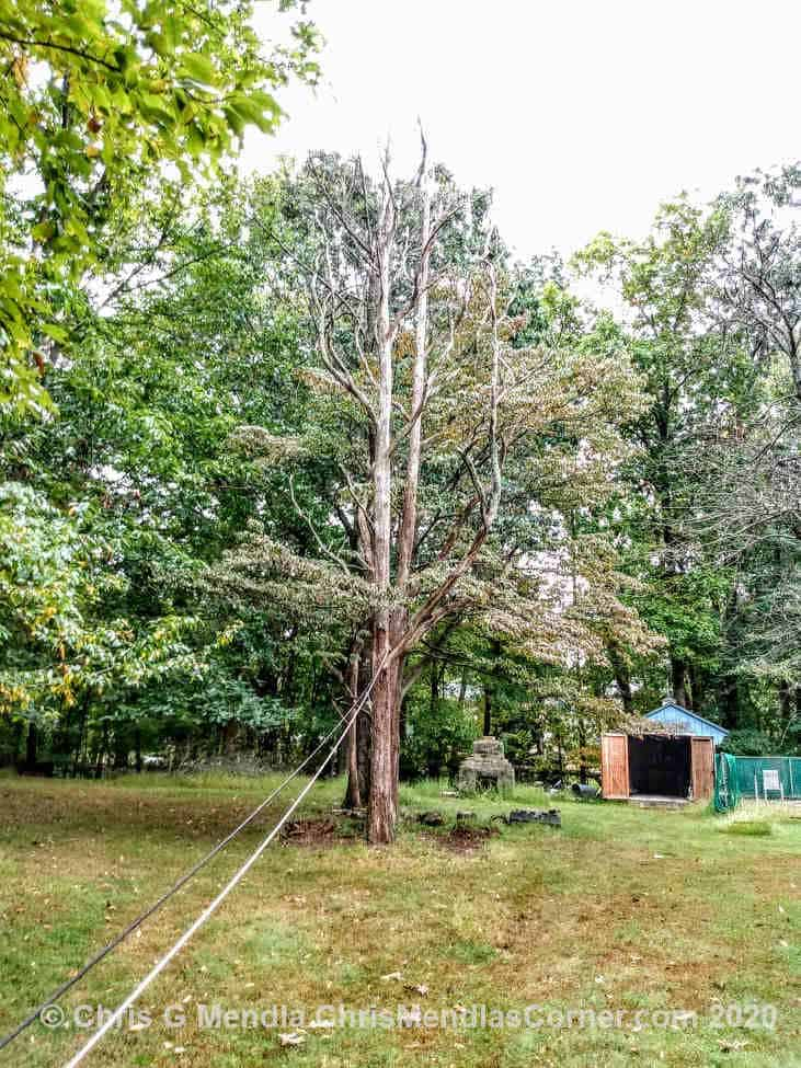 Dead Sassafras tree ready to be pulled down
